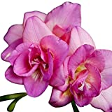15 Double Pink Freesia Bulbs - Top Size