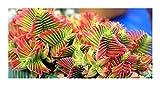 Crassula capitella - campfire plant - 30 seeds