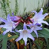 2 Barbados Lily Purple, Amaryllis Bulbs, hippeastrum Bulbs Seeds Color no. 21