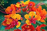 Pride Of Barbados, Peacock Flower,Dwarf Poinciana,Bird Of Paradise 10 Seeds
