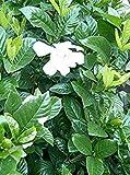 25 Seeds Gardenia Jasminoides (Herbal Jasmine Plant) White Flowers