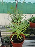 LovelyGarden Senecio Vitalis Narrow - Leaf Chalksticks