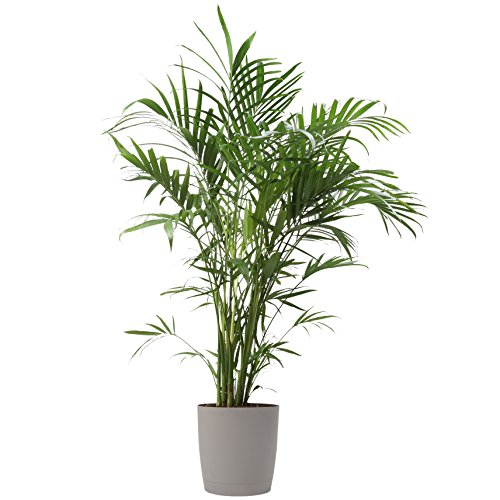 Costa Farms Cat Palm, Chamaedorea Palm Tree, Live Indoor Plant, 3 to 4-Feet Tall, Ships with Décor Planter, Fresh From Our Farm, Excellent Gift