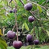 Custard Apple Tree 8 Seeds - Annona reticulata - Bonsai