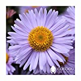 Perennial: MICHAELMAS DAISY (Wartburg Star) 20 Seeds - Colorful, Beauty, Easy To Grow - High Germination, Fresh Seed