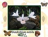 Dendrobium Nobile photography 2017