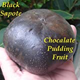 ~BLACK SAPOTE~ Diospyros digyna Chocolate Pudding Tree FRUIT TREE XXL 36-48+in