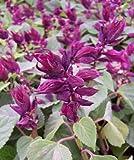 50 Salvia Seeds Vista Purple Flower Seeds Garden Starts Nursery