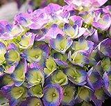Cityline Rio Big Leaf Hydrangea - Proven Winners - Live Plant - Quart Pot