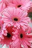 ChinaMarket 100 Pcs/bag Gerbera Pink Daisy Seeds New Hybrids Mixed Flower Pot Bonsai Plants Easy To Grow For Jardin Garden Flowers Seed