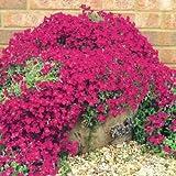 4000 Seeds RED ROCK CRESS Aubrieta -Cascade red - FLOWER SEEDS, PERENNIAL,DEER RESISTANT