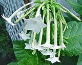 1/4 gram seeds of Nicotiana sylvestris Starfall Lonely Flower