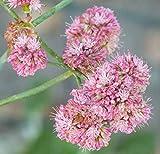 100 Seeds Eriogonum Grande rebescens (Red Buckwheat)