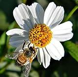 Bidens Pilosa Alba, MEDICINAL butterflies garden plant Spanish Needles 500 seeds