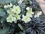The Christmas Rose plant: Helleborus niger