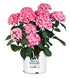 Proven Winners - Hydrangea mac. Let's Dance Rave (Reblooming hydrangea) Shrub, RB pink or blue, #3 - Size Container