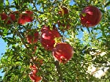 """(1 Gallon)""""SALAVATSKI"""" also known as""""Russian-Turk"""" Pomegranate shrub - very large Fruit orange-red in skin, red arils and sweet/tart juice. Extremely Cold Hardy. Easy To Grow"""