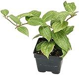Hoya Fitchii (Hoya Species)