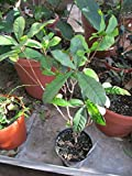 9EzTropical - Miracle Berry Fruit Trees - 1 to 2 Feet - - Ship in 1 Gal Pot