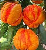 New Rare Red Lemon Tree 30+ Seeds mix - Citrus × limon