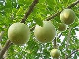 CALABASH TREE (Crescentia cujete) 10 seeds