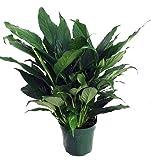 "Hirt's Peace Lily Plant - Spathyphyllium - Great House Plant - 6"" Pot"