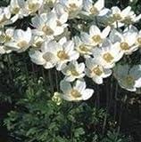 Anemone - Sylvestris - 25 Seeds