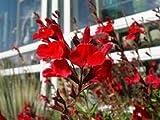 SALVIA GREGGII 'FURMAN'S RED' - STARTER PLANT