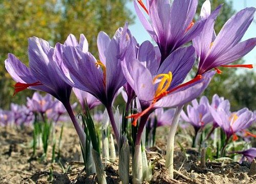 Saffron Crocus 10 Bulbs - Rare Spice - Fall Blooming ...