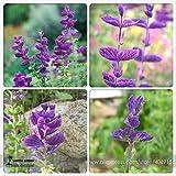 Go Garden BELLFARM Bonsai Salvia Viridis Rare Clary Sage Salvia horminum High Germination -30pcs/Pack