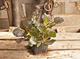 Black Scallop: Ajuga reptans - Three 4 Inch Pots--3 PLANTS