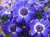 200 Purple Mix SWAN RIVER DAISY Brachyscome Iberidifolia Flower Seeds