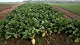 5 Lb Sugar Beet Food Plot 50,000 Seeds Bulk Excellent Deer Food Plot