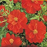 Outsidepride Cosmos Sulphureus Red - 1000 Seeds