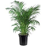 AMERICAN PLANT EXCHANGE Areca Palm Indoor/Outdoor Air Purifier Live Plant, 3 Gallon, Clean Toxins
