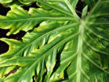 New Lacy TREE PHILODENDRON Split Leaf Cut-leaf Selloum House Plant Flower 15+ Seeds