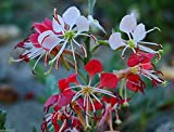 "10 Seeds Scarlet Gaura - Gaura Coccinea - Also Known As,""scarlet Beeblossom"". Flowers Seed"