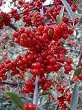 Autumn Olive, Elaeagnus Umbellata, Tree 30 Seeds, Edible Fruit! Hardy!