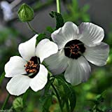 Hibiscus trionum 'Simply Love' - 25 SEEDS ,blooms from mid-summer through fall