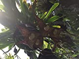 Dracula Hybrid (Bella x nycterina) - Orchid Plant - Indigenous to Colombia