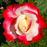 120 Double Delight Hybrid Tea Rose Seed DIY Home Garden Bush Bonsai Yard Flower So Unique