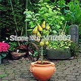 Hot Sale!!! Bonsai Pear Tree Seeds (30 Pieces per bag) PLUS GIFT Perennial Bonsai Fruit Seeds