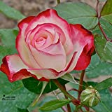 Best Garden Seeds new hybrid tea rose bud and flower seeds, professional service pack, 50 seeds / pack