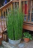 Live Equisetum Horsetail Plants - Bamboo - Zen Koi Pond Evergreen Plant