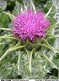 100 MILK THISTLE Silybum Marianum Flower Seeds