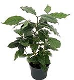 "Hirt's Arabica Coffee Bean Plant - 6"" pot - Grow & Brew Your Own"