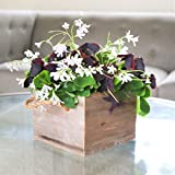 Easy to Grow Oxalis Regnelli and Triangularis Bulbs Pre-Planted in Reclaimed Wood Square | Blooms in 6-8 Weeks Grows Anywhere Indoors