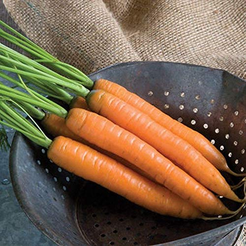 Yaya F1 Hybrid Carrot Seeds - 6 inch, bright orange, cylindrical roots !!!!(25 - Seeds)