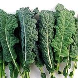 Kale Italian Lacinato Nero Toscana Seeds ► Certified Organic Kale Seeds (100+ seeds) ◄ by PowerGrow Systems