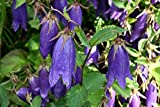 4 Bare Root of Campanula 'Sarastro' - Sarastro Bellflower
